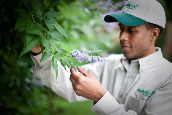 A TruGreen worker examining a flowering bush